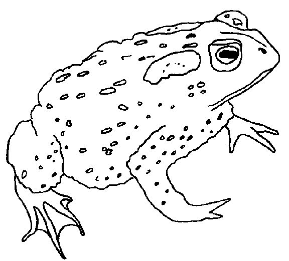 Realistic frog coloring pages
